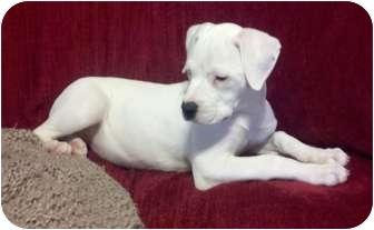 American Bulldog Mix Puppy for adoption in Cairo, Georgia - Pearl