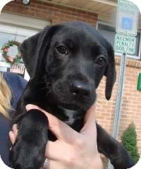 Labrador Retriever Mix Puppy for adoption in Randolph, New Jersey - Dania