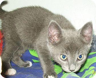 Domestic Shorthair Kitten for adoption in Grants Pass, Oregon - Alex