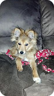 Collie/Pomeranian Mix Puppy for adoption in Atascadero, California - Theodore AKA Teddy