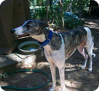 Greyhound Dog for adoption in Spencerville, Maryland - Sylvester