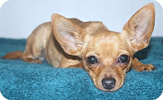Chihuahua Mix Dog for adoption in Yorba Linda, California - Carmen - 6 lbs!