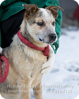 Cattle Dog Mix Puppy for adoption in Somerset, Pennsylvania - Duncan