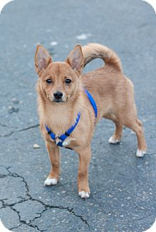 Shiba Inu/Jack Russell Terrier Mix Puppy for adoption in Auburn, California - Gabby