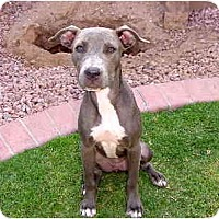 Adopt A Pet :: Daisy Blue - Scottsdale, AZ