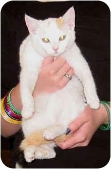 Domestic Shorthair Cat for adoption in San Pedro, California - Ginger Baker