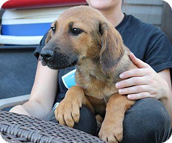 Labrador Retriever/Hound (Unknown Type) Mix Puppy for adoption in Philadelphia, Pennsylvania - Logan