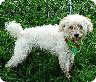 Bichon Frise/Poodle (Miniature) Mix Dog for adoption in Oswego, Illinois - Wally
