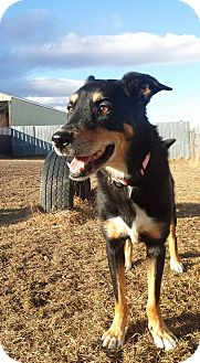 Australian Kelpie/Husky Mix Dog for adoption in Calgary, Alberta - JADA