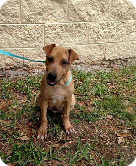 Shar Pei/Catahoula Leopard Dog Mix Dog for adoption in Oviedo, Florida - Fenway
