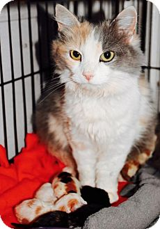Calico Cat for adoption in Danbury, Connecticut - Mona