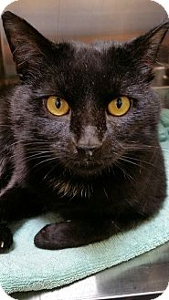 Domestic Shorthair Cat for adoption in Chambersburg, Pennsylvania - Reggie