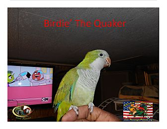 Parakeet - Quaker for adoption in Vancouver, Washington - Birdie the Quaker