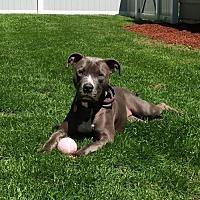 American Pit Bull Terrier Dog for adoption in Fulton, Missouri - Maci-CT