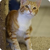 Domestic Shorthair Cat for adoption in DFW Metroplex, Texas - Cash