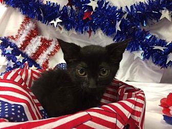 Domestic Shorthair Kitten for adoption in Rustburg, Virginia - Lava-Shelter