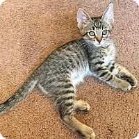 Domestic Shorthair Kitten for adoption in Valley Center, California - Caroline