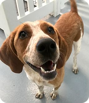 Beagle/Basset Hound Mix Dog for adoption in Holliston, Massachusetts - Maisy