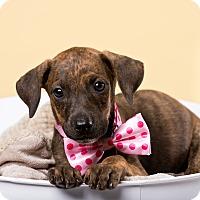 Adopt A Pet :: Caracara - Houston, TX