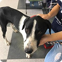 Adopt A Pet :: Maybel - Island Heights, NJ
