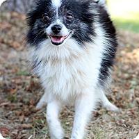 Adopt A Pet :: Nina - Waldorf, MD