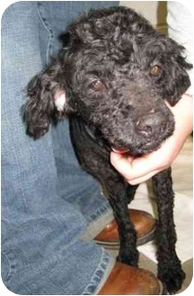 Poodle (Miniature)/Maltese Mix Dog for adoption in Florence, Indiana - Barbie