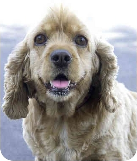Cocker Spaniel Dog for adoption in Marina del Rey, California - Buffie