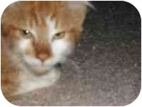 Domestic Shorthair Kitten for adoption in Tampa, Florida - Romeo