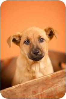 German Shepherd Dog Mix Puppy for adoption in Portland, Oregon - Candy