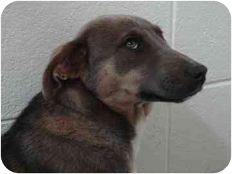 Shepherd (Unknown Type) Mix Puppy for adoption in Spruce Pine, North Carolina - Stormy