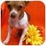 Photo 1 - Rat Terrier/Chihuahua Mix Dog for adoption in Irvine, California - Bree - 5 lbs