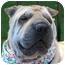 Photo 1 - Shar Pei Dog for adoption in Barnegat Light, New Jersey - Liza