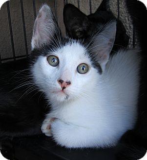Domestic Shorthair Cat for adoption in San Diego, California - Newton