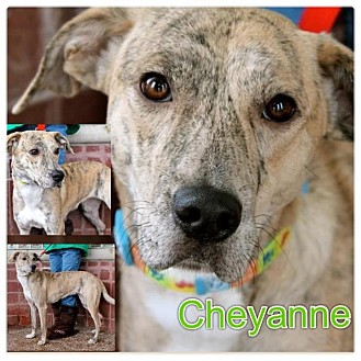 Whippet/Labrador Retriever Mix Dog for adoption in Garden City, Michigan - Cheyanne