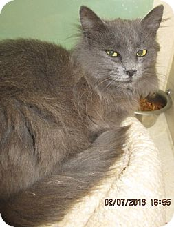 Domestic Longhair Cat for adoption in Westminster, California - Shadow