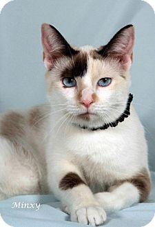 Manx Kitten for adoption in Kerrville, Texas - Minxy