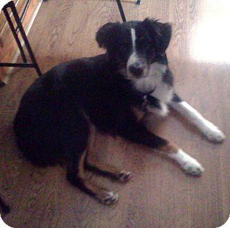 Australian Shepherd Dog for adoption in Massillon, Ohio - COOPER