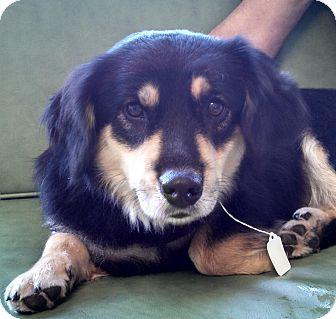 Corgi Mix Dog for adoption in Allentown, Pennsylvania - Minnie Pearl