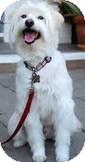 Maltese Mix Dog for adoption in Encino, California - Silas
