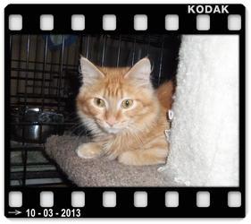 Norwegian Forest Cat Cat for adoption in Medford, Wisconsin - LOKI