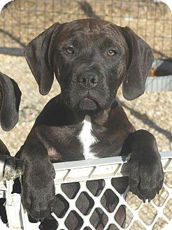 Great Dane/Labrador Retriever Mix Puppy for adoption in Seneca, South Carolina - Vixen $200