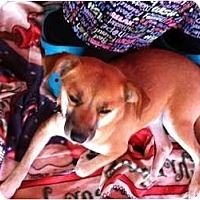 Adopt A Pet :: Victoria - North Hollywood, CA