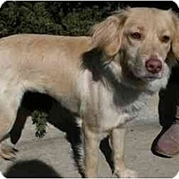 Adopt A Pet :: Lattie - New Boston, NH