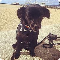 Adopt A Pet :: Ava - Santa Monica, CA