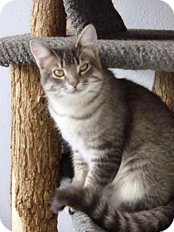 Domestic Shorthair Cat for adoption in Alden, Iowa - Hunny