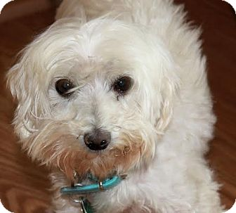 Maltese Dog for adoption in Alamosa, Colorado - Trixie