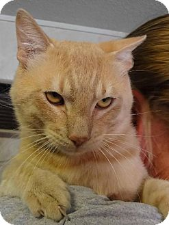 Domestic Shorthair Cat for adoption in Jefferson, Texas - Ducky
