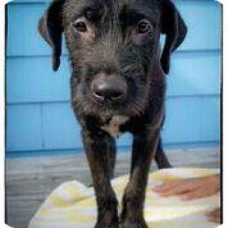 Labrador Retriever Mix Puppy for adoption in Freeport, New York - Jilly