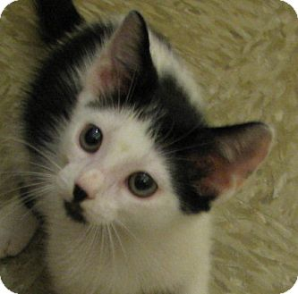 Domestic Shorthair Kitten for adoption in Tulsa, Oklahoma - Sweetcakes