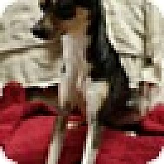 Chihuahua Mix Dog for adoption in Spring Valley, New York - Lara (DC)